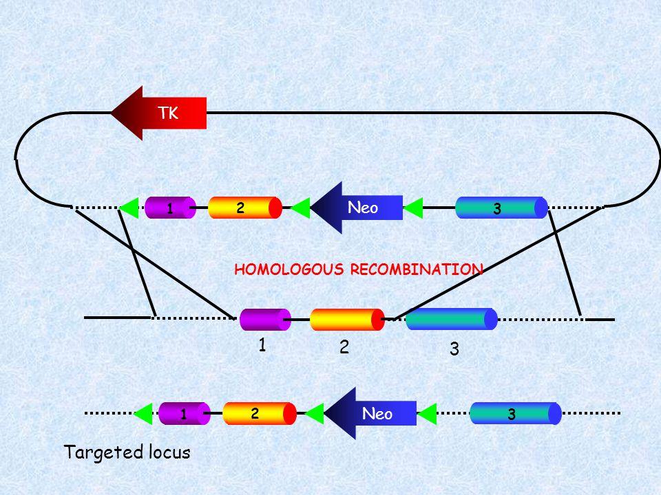 TK Neo 1 2 3 1 2 3 HOMOLOGOUS RECOMBINATION Neo 1 2 3 Targeted locus