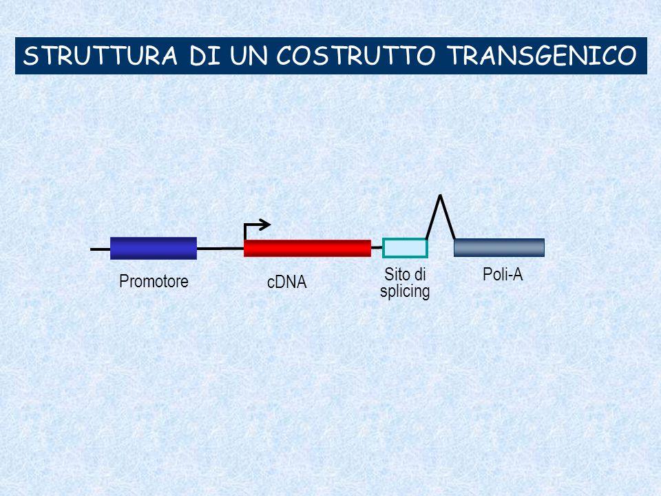 PRODUZIONE DI TOPI TRANSGENICI PRODUZIONE DI TOPI TRANSGENICI Mediante iniezione pronucleare del costrutto Mediante iniezione pronucleare del costrutto Mediante ricombinazione omologa in cellule staminali embrionali Mediante ricombinazione omologa in cellule staminali embrionali