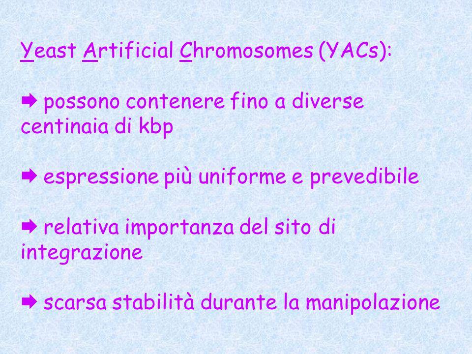 Yeast Artificial Chromosomes (YACs):  possono contenere fino a diverse centinaia di kbp  espressione più uniforme e prevedibile  relativa importanza del sito di integrazione  scarsa stabilità durante la manipolazione