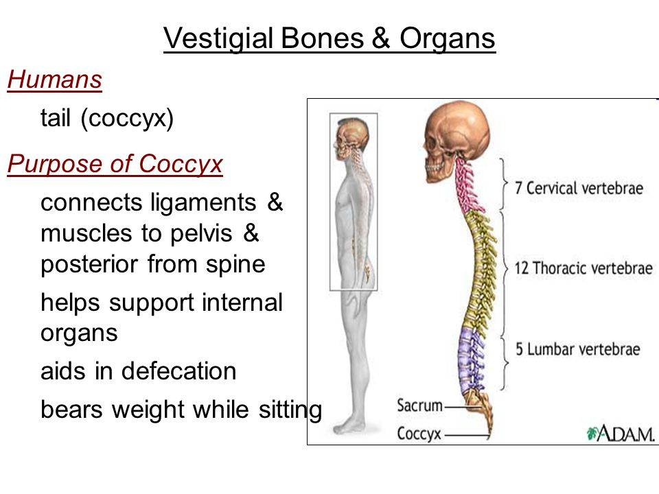 Vestigial Bones & Organs Humans tail (coccyx) Purpose of Coccyx connects ligaments & muscles to pelvis & posterior from spine helps support internal organs aids in defecation bears weight while sitting
