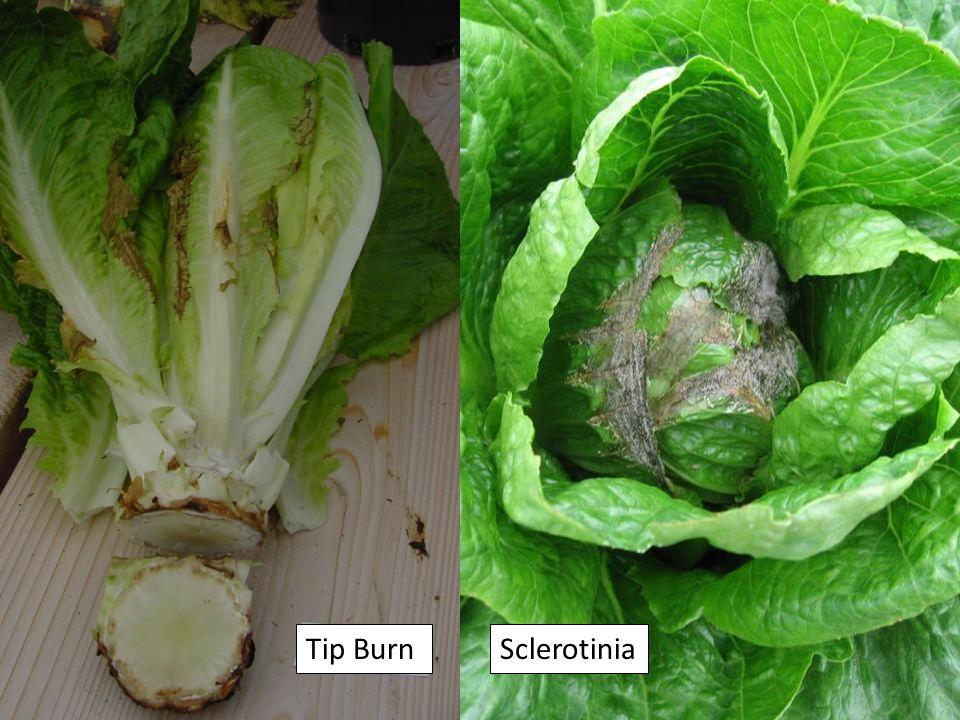 Tip BurnSclerotinia