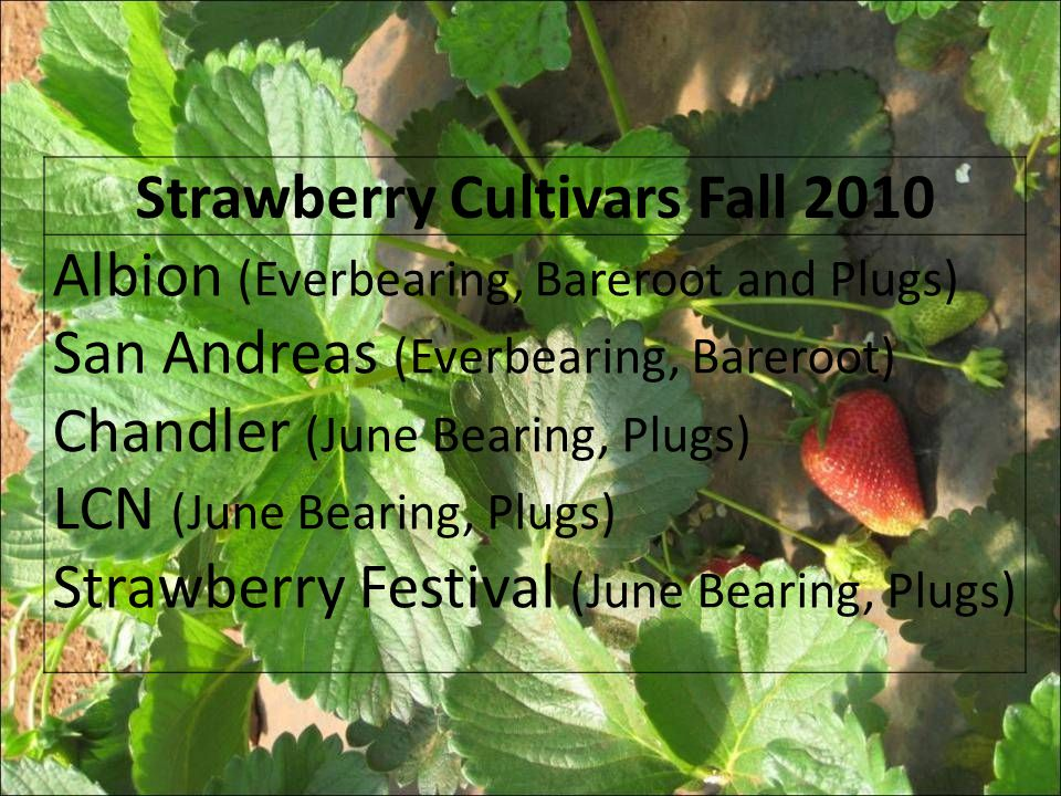 Strawberry Cultivars Fall 2010 Albion (Everbearing, Bareroot and Plugs) San Andreas (Everbearing, Bareroot) Chandler (June Bearing, Plugs) LCN (June B