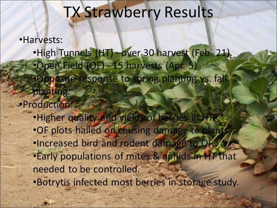 TX Strawberry Results Harvests: High Tunnels (HT) –over 30 harvest (Feb. 21). Open Field (OF) –15 harvests (Apr. 5). Opposite response to spring plant