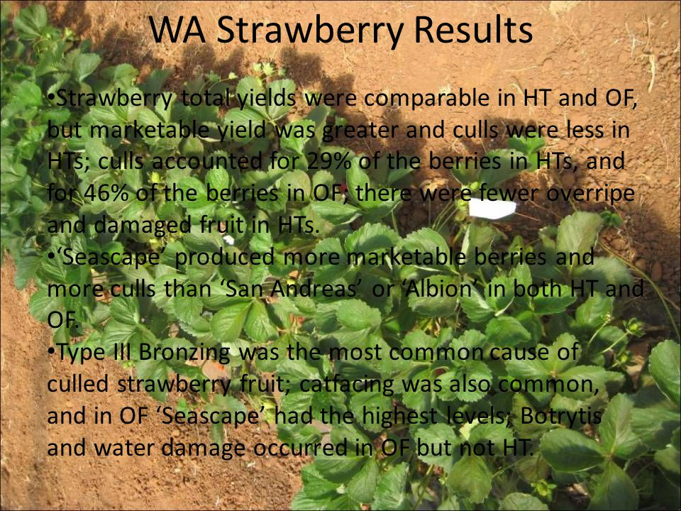 WA Strawberry Results Strawberry total yields were comparable in HT and OF, but marketable yield was greater and culls were less in HTs; culls account