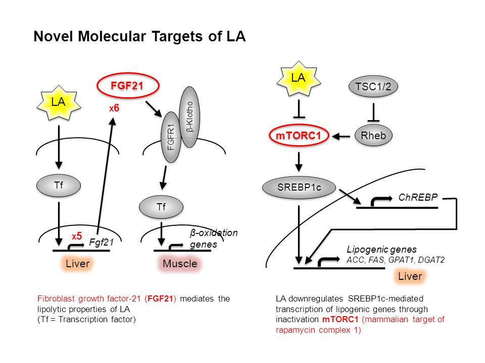 Novel Molecular Targets of LA Fibroblast growth factor-21 (FGF21) mediates the lipolytic properties of LA (Tf = Transcription factor) LA downregulates SREBP1c-mediated transcription of lipogenic genes through inactivation mTORC1 (mammalian target of rapamycin complex 1) β-oxidation genes Tf FGFR1 β-Klotho Fgf21 Tf X5X5X5X5 FGF21 LA X6X6X6X6 SREBP1c LA ChREBP Lipogenic genes ACC, FAS, GPAT1, DGAT2 mTORC1 Rheb TSC1/2