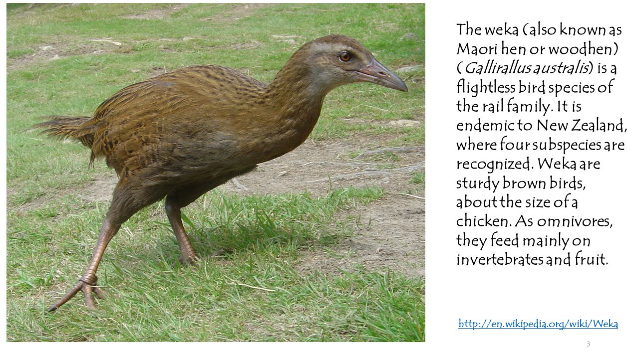 3 The weka (also known as Maori hen or woodhen) (Gallirallus australis) is a flightless bird species of the rail family.