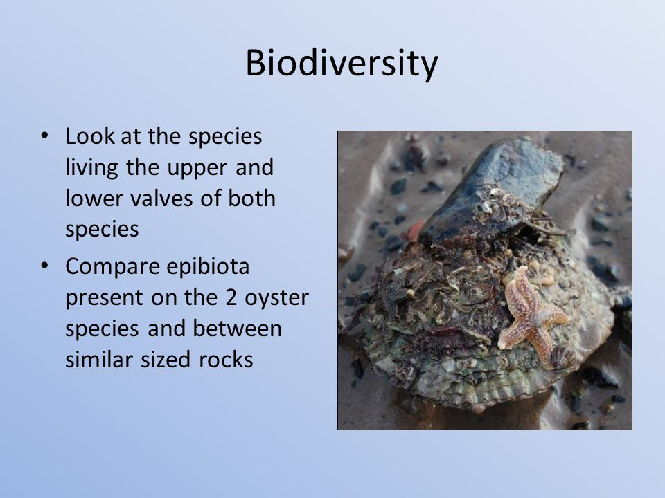 Biodiversity Look at the species living the upper and lower valves of both species Compare epibiota present on the 2 oyster species and between similar sized rocks