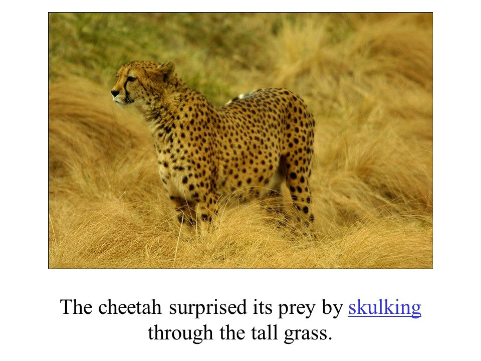 The cheetah surprised its prey by skulking through the tall grass.