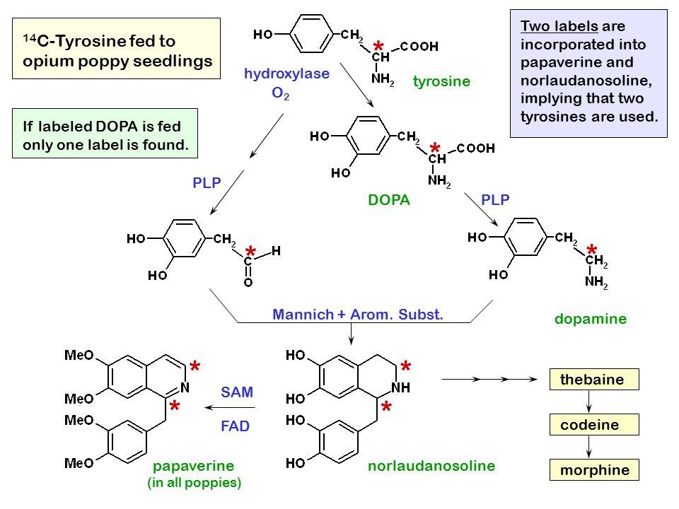 tyrosine DOPA dopamine norlaudanosoline thebaine codeine morphine papaverine * * * * * * * * 14 C-Tyrosine fed to opium poppy seedlings (in all poppie
