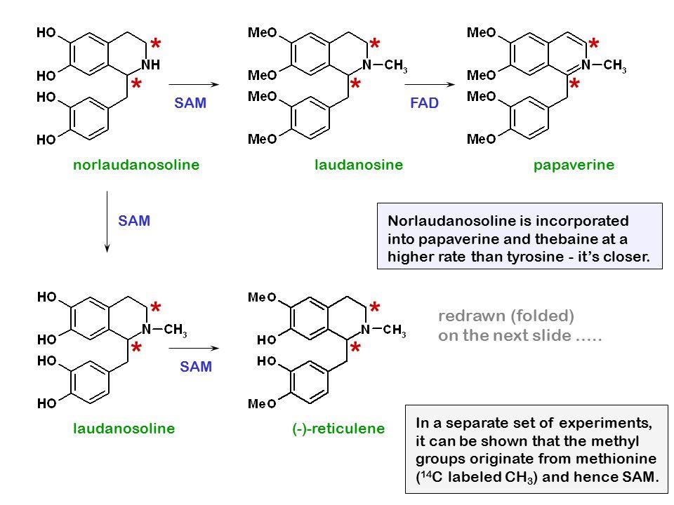 norlaudanosoline * * laudanosine * * papaverine * * laudanosoline * * (-)-reticulene * * redrawn (folded) on the next slide ….. SAM FAD SAM In a separ