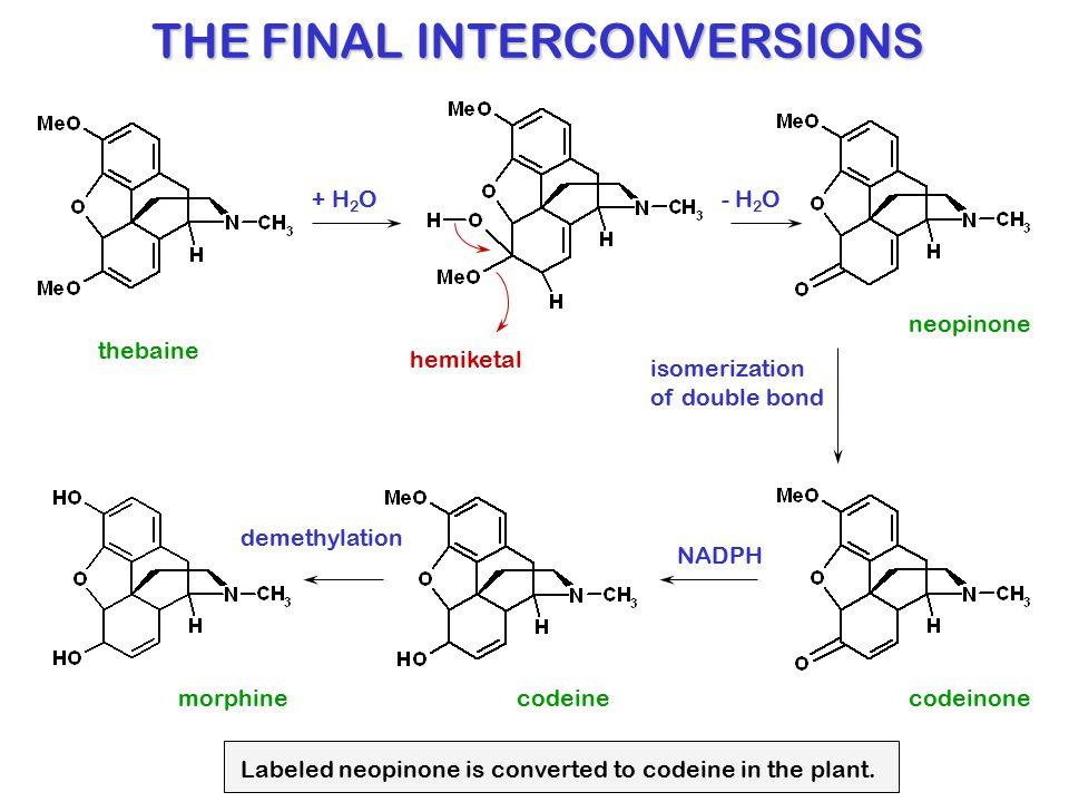 thebaine + H 2 O- H 2 O neopinone codeinone hemiketal codeinemorphine NADPH isomerization of double bond demethylation THE FINAL INTERCONVERSIONS Labe