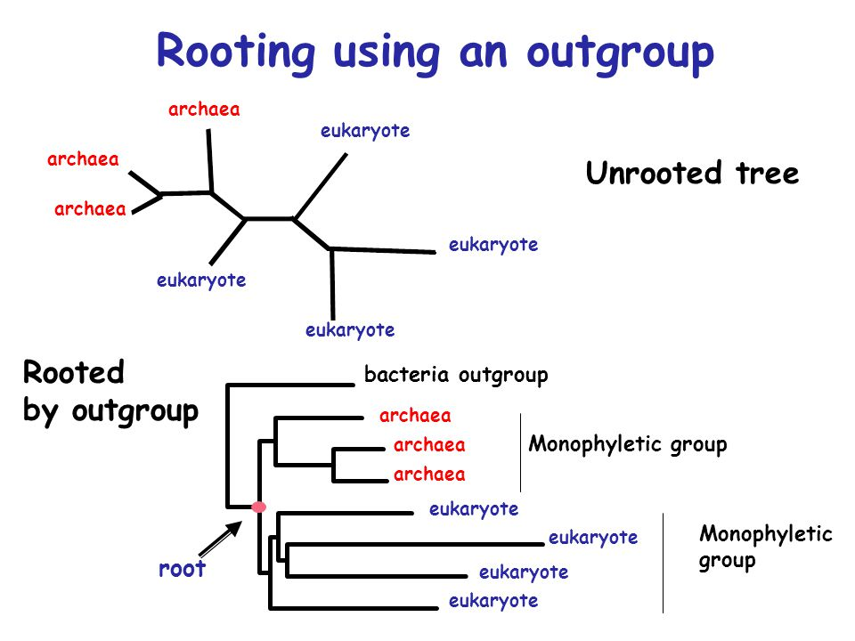 Rooted by outgroup Rooting using an outgroup archaea eukaryote bacteria outgroup root eukaryote Unrooted tree archaea Monophyletic group Monophyletic group