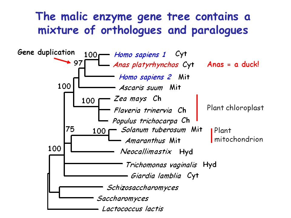 The malic enzyme gene tree contains a mixture of orthologues and paralogues Anas = a duck.