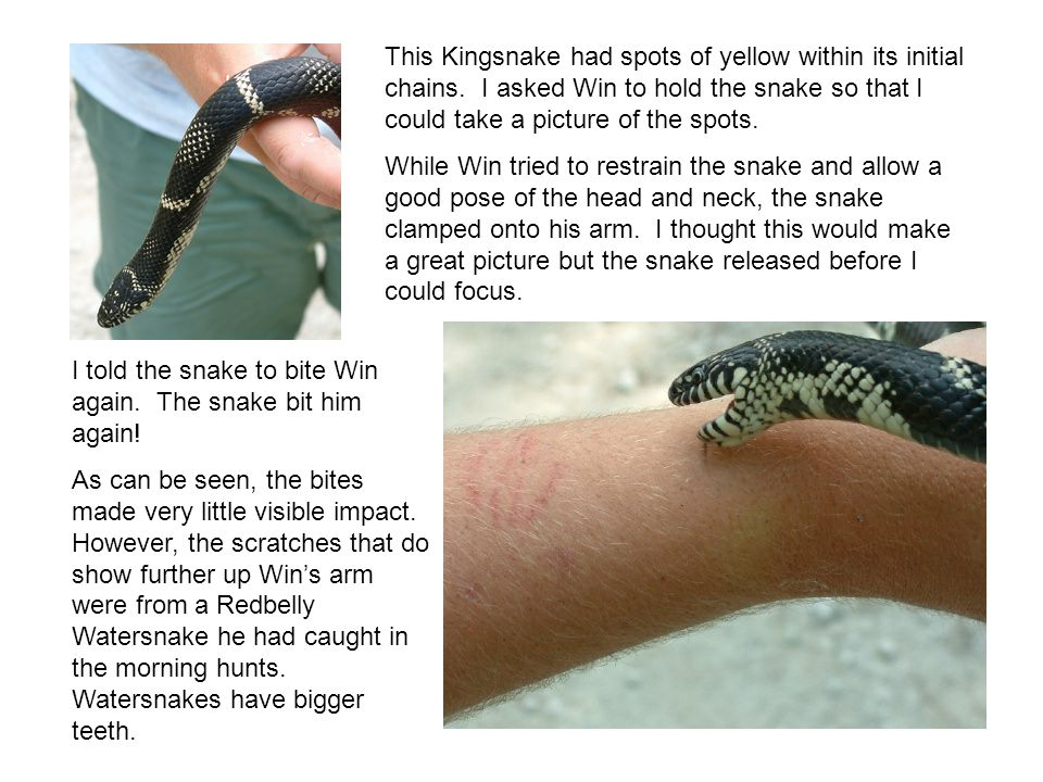 This Kingsnake had spots of yellow within its initial chains.
