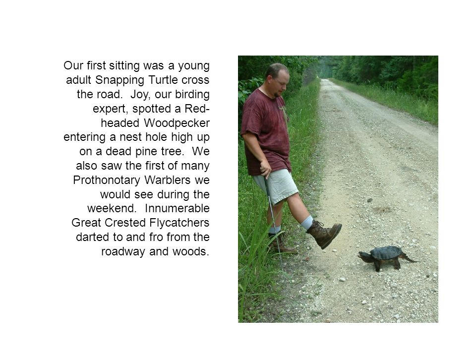 Our first sitting was a young adult Snapping Turtle cross the road.