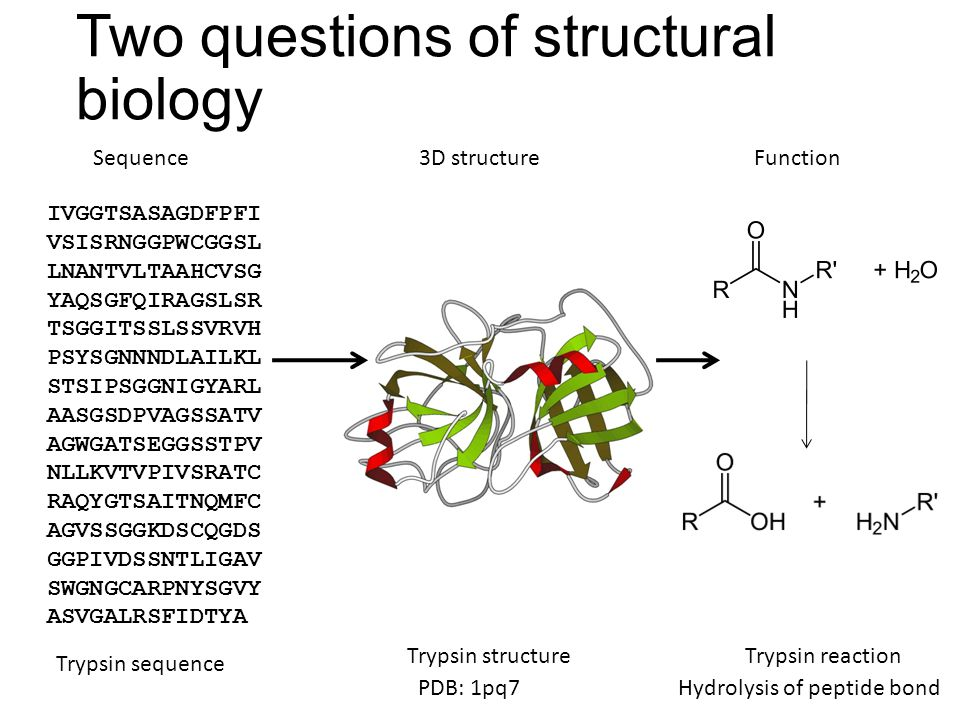 Two questions of structural biology Sequence3D structureFunction IVGGTSASAGDFPFI VSISRNGGPWCGGSL LNANTVLTAAHCVSG YAQSGFQIRAGSLSR TSGGITSSLSSVRVH PSYSGNNNDLAILKL STSIPSGGNIGYARL AASGSDPVAGSSATV AGWGATSEGGSSTPV NLLKVTVPIVSRATC RAQYGTSAITNQMFC AGVSSGGKDSCQGDS GGPIVDSSNTLIGAV SWGNGCARPNYSGVY ASVGALRSFIDTYA Trypsin sequence PDB: 1pq7 Trypsin structure Hydrolysis of peptide bond Trypsin reaction