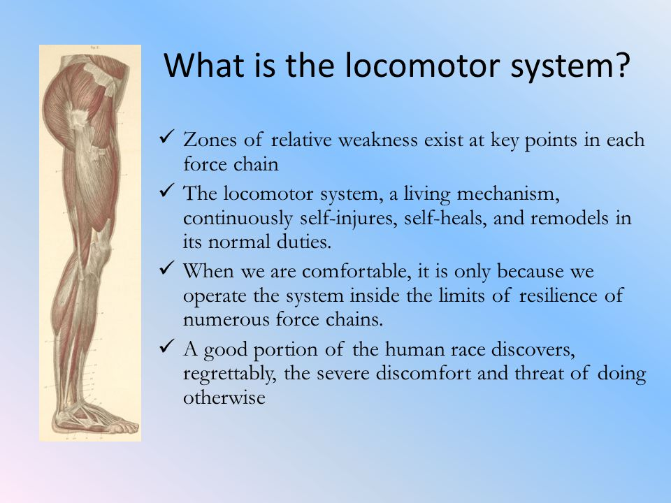 What is the locomotor system.