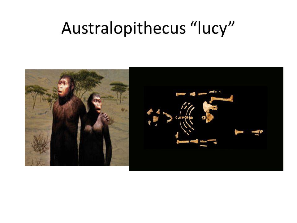 Australopithecus lucy