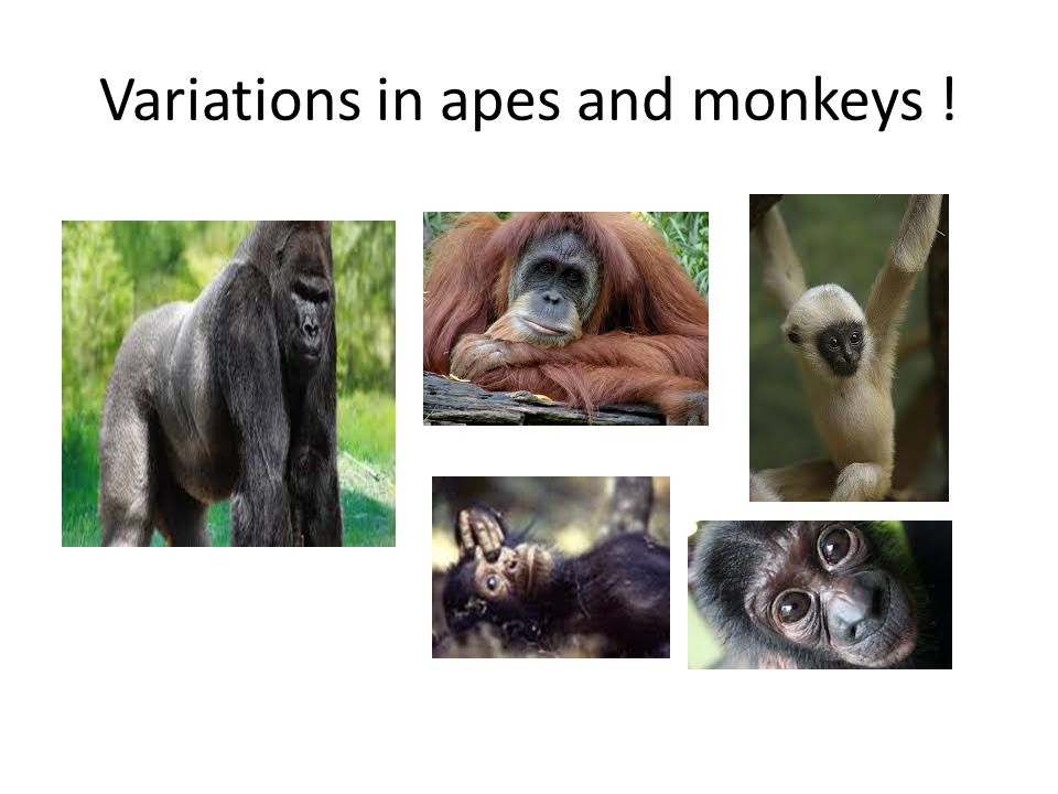 Variations in apes and monkeys !