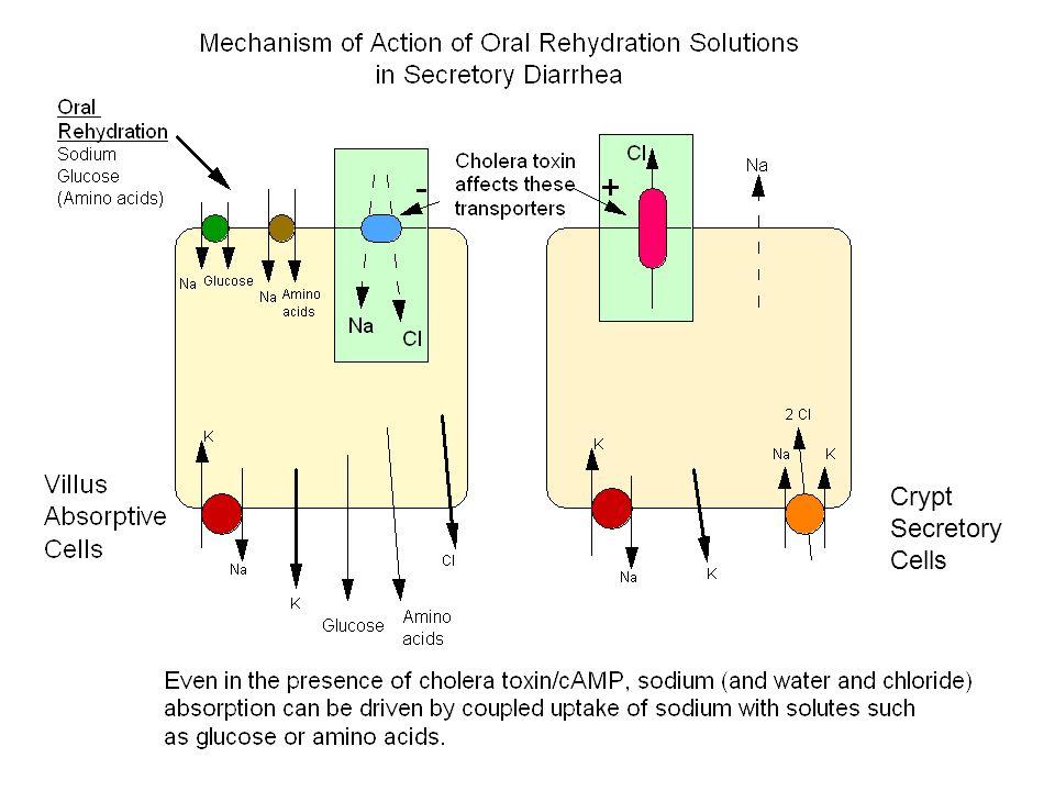 Crypt Secretory Cells