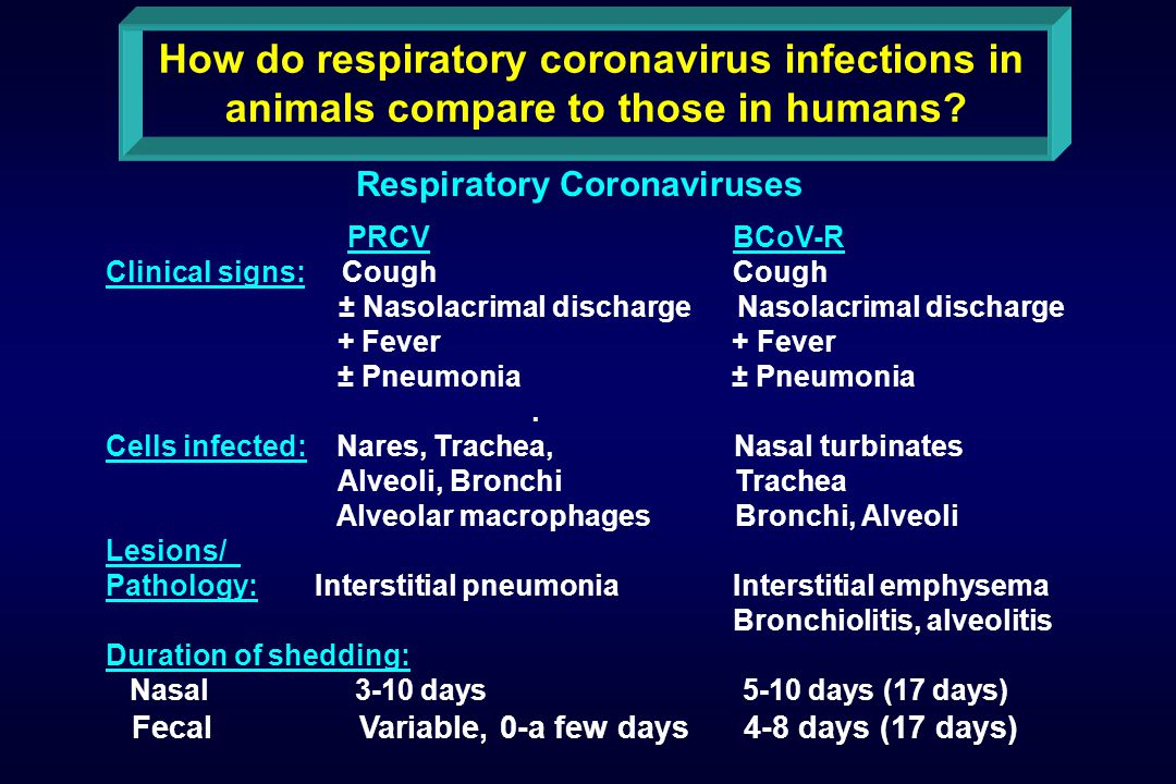 How do respiratory coronavirus infections in animals compare to those in humans? Respiratory Coronaviruses PRCVBCoV-R Clinical signs: CoughCough ± Nas