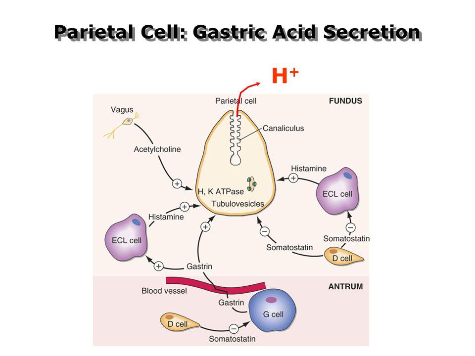 Parietal Cell: Gastric Acid Secretion H+H+