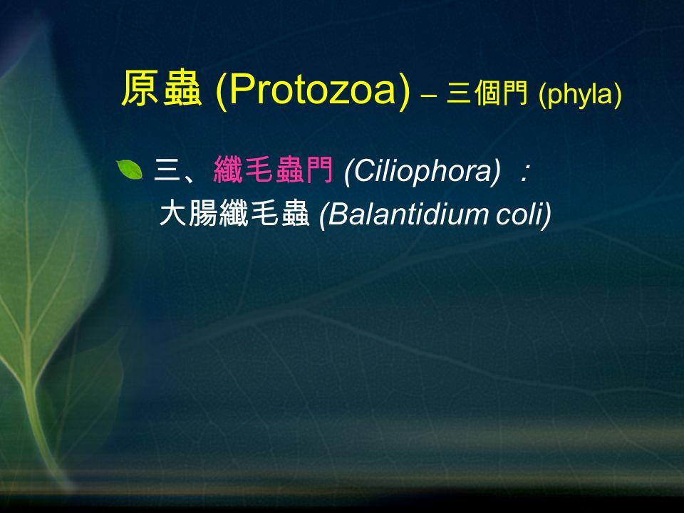 三、纖毛蟲門 (Ciliophora) : 大腸纖毛蟲 (Balantidium coli) 原蟲 (Protozoa) – 三個門 (phyla)