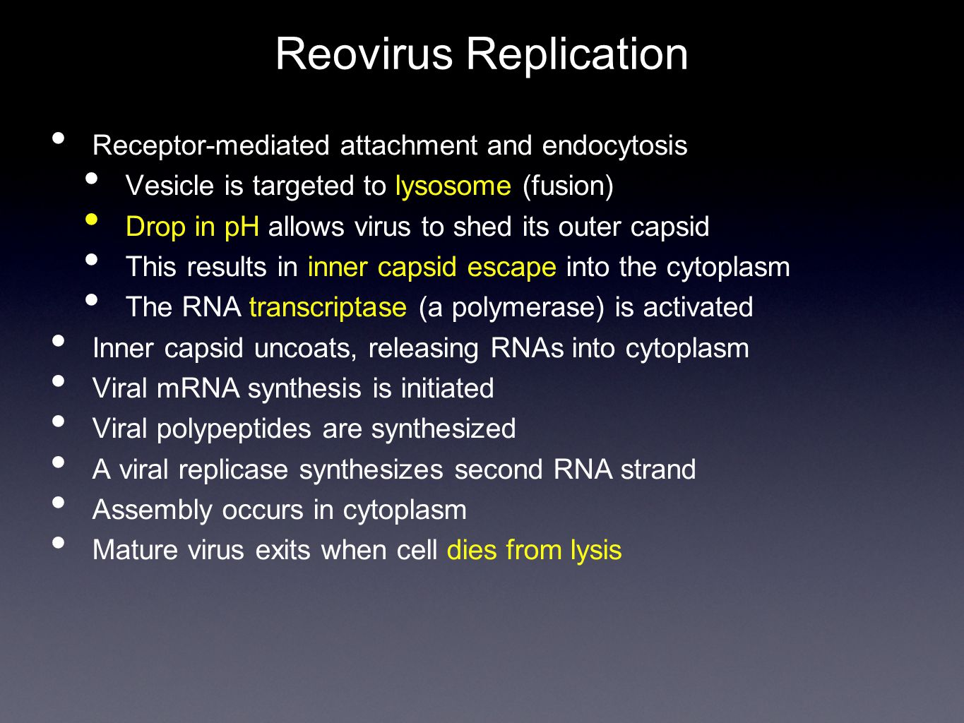 Reovirus Replication Receptor-mediated attachment and endocytosis Vesicle is targeted to lysosome (fusion) Drop in pH allows virus to shed its outer capsid This results in inner capsid escape into the cytoplasm The RNA transcriptase (a polymerase) is activated Inner capsid uncoats, releasing RNAs into cytoplasm Viral mRNA synthesis is initiated Viral polypeptides are synthesized A viral replicase synthesizes second RNA strand Assembly occurs in cytoplasm Mature virus exits when cell dies from lysis