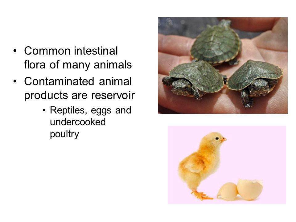 Common intestinal flora of many animals Contaminated animal products are reservoir Reptiles, eggs and undercooked poultry