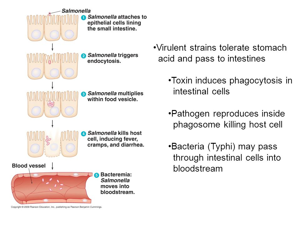 Virulent strains tolerate stomach acid and pass to intestines Toxin induces phagocytosis in intestinal cells Pathogen reproduces inside phagosome killing host cell Bacteria (Typhi) may pass through intestinal cells into bloodstream