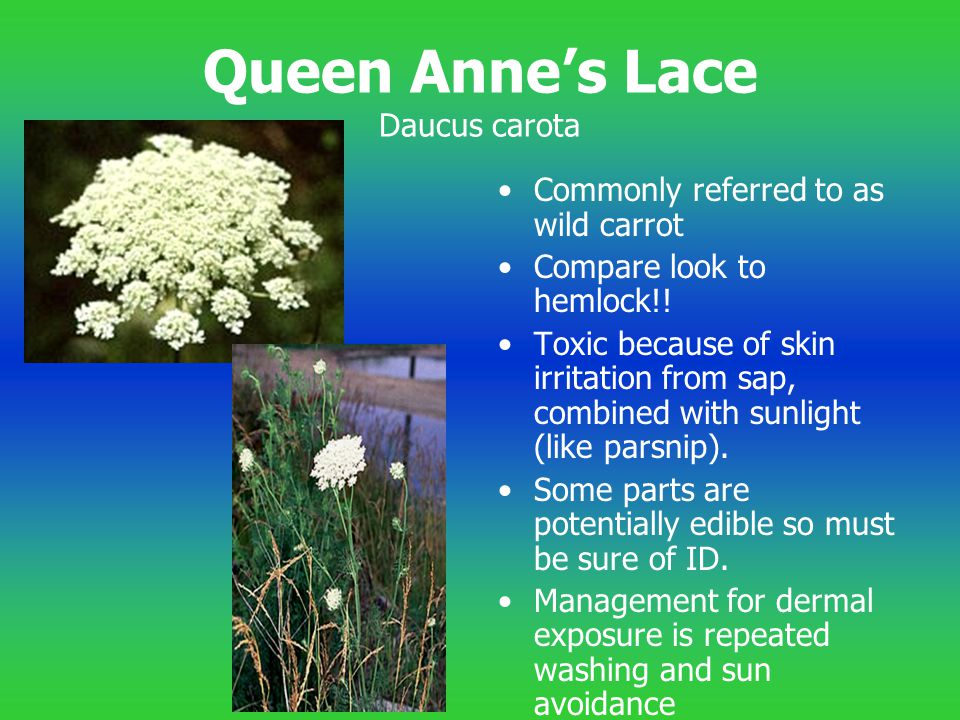 Queen Anne's Lace Daucus carota Commonly referred to as wild carrot Compare look to hemlock!! Toxic because of skin irritation from sap, combined with