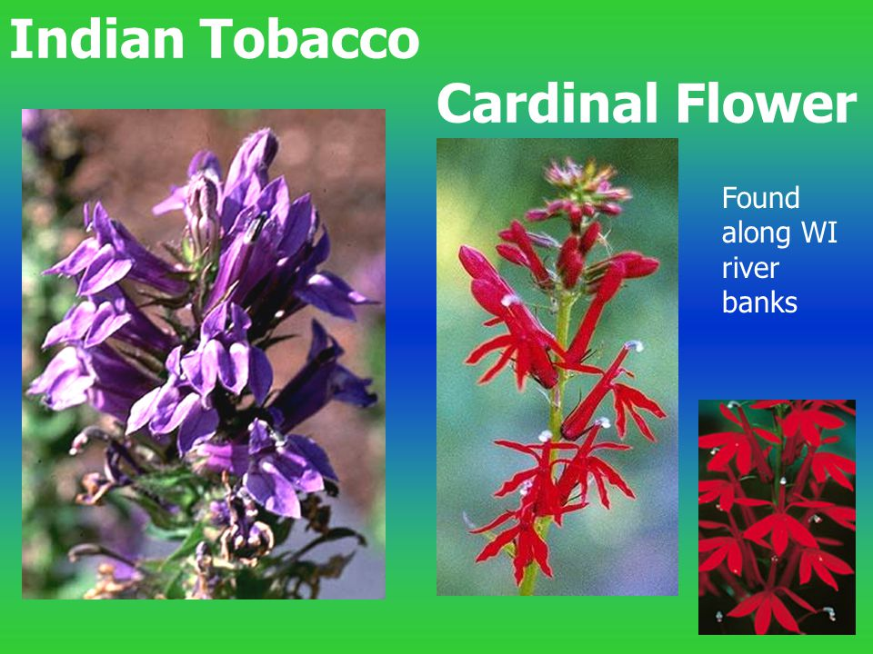 Indian Tobacco Cardinal Flower Found along WI river banks