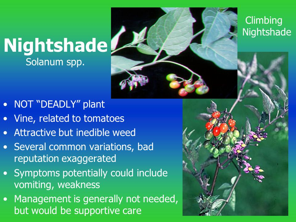 "NOT ""DEADLY"" plant Vine, related to tomatoes Attractive but inedible weed Several common variations, bad reputation exaggerated Symptoms potentially c"