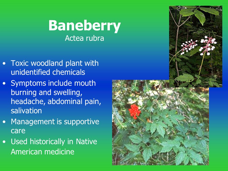Baneberry Actea rubra Toxic woodland plant with unidentified chemicals Symptoms include mouth burning and swelling, headache, abdominal pain, salivati