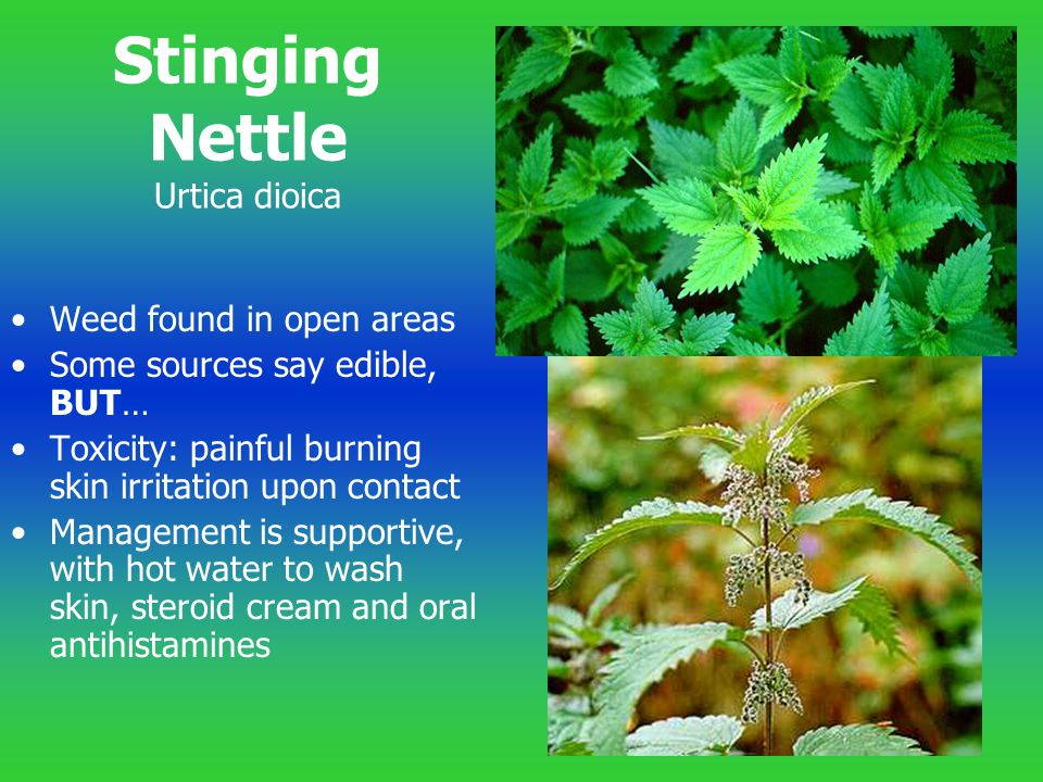 Stinging Nettle Urtica dioica Weed found in open areas Some sources say edible, BUT… Toxicity: painful burning skin irritation upon contact Management