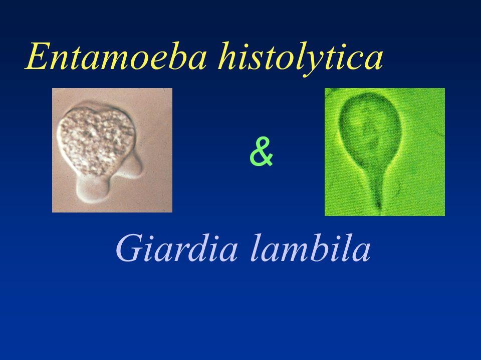 Entamoeba histolytica & Giardia lambila