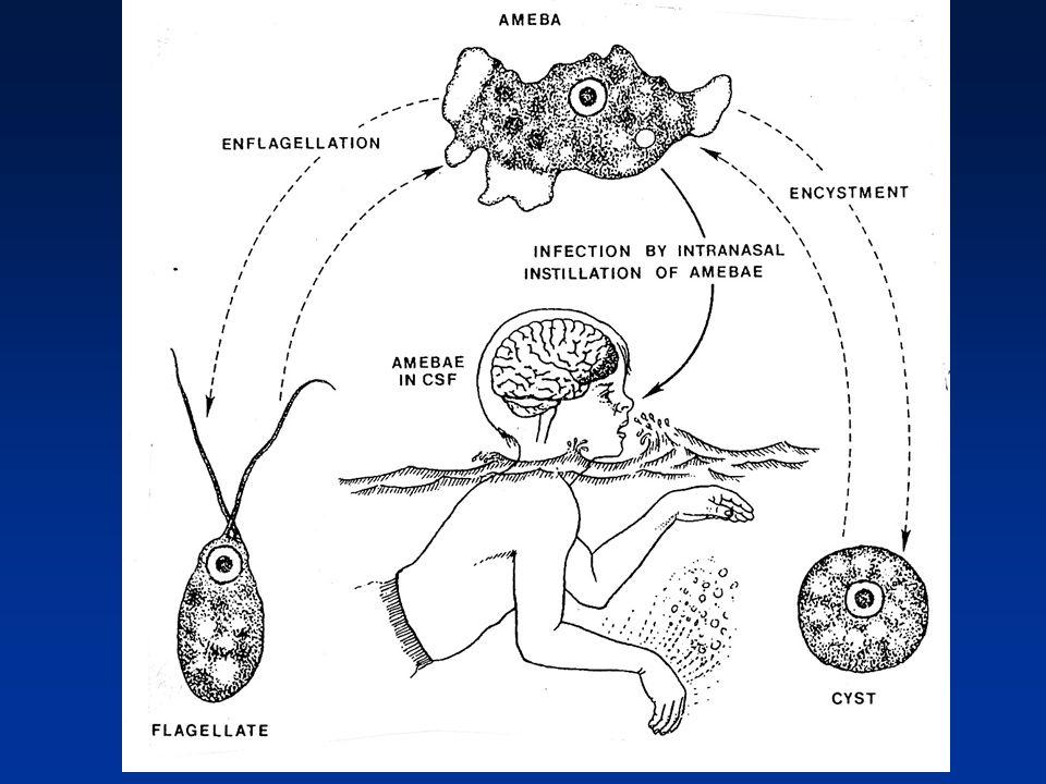 Acanthamoeba species cause granulomatous amebic encephalitis (GAE), amebic keratitis, corneal ulceration, amebic dermatitis Balamuthia infection have cutaneous lesions and GAE Acanthamoeba, Balamuthia