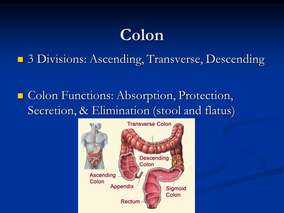 Colon 3 Divisions: Ascending, Transverse, Descending 3 Divisions: Ascending, Transverse, Descending Colon Functions: Absorption, Protection, Secretion, & Elimination (stool and flatus) Colon Functions: Absorption, Protection, Secretion, & Elimination (stool and flatus)