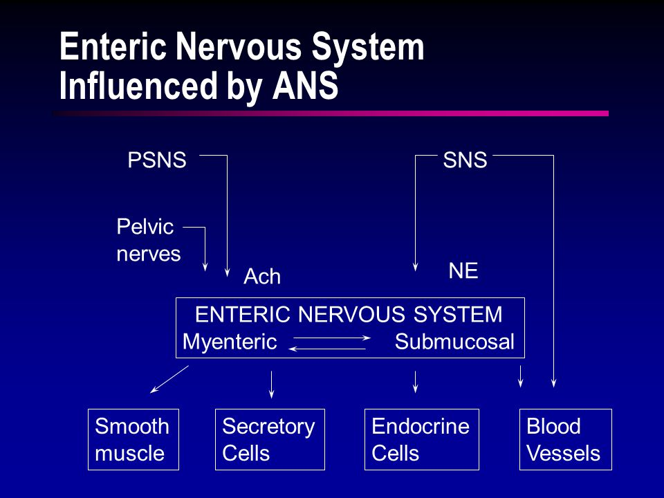 ENTERIC NERVOUS SYSTEM Myenteric Submucosal PSNS Pelvic nerves SNS Ach NE Smooth muscle Secretory Cells Endocrine Cells Blood Vessels Enteric Nervous System Influenced by ANS