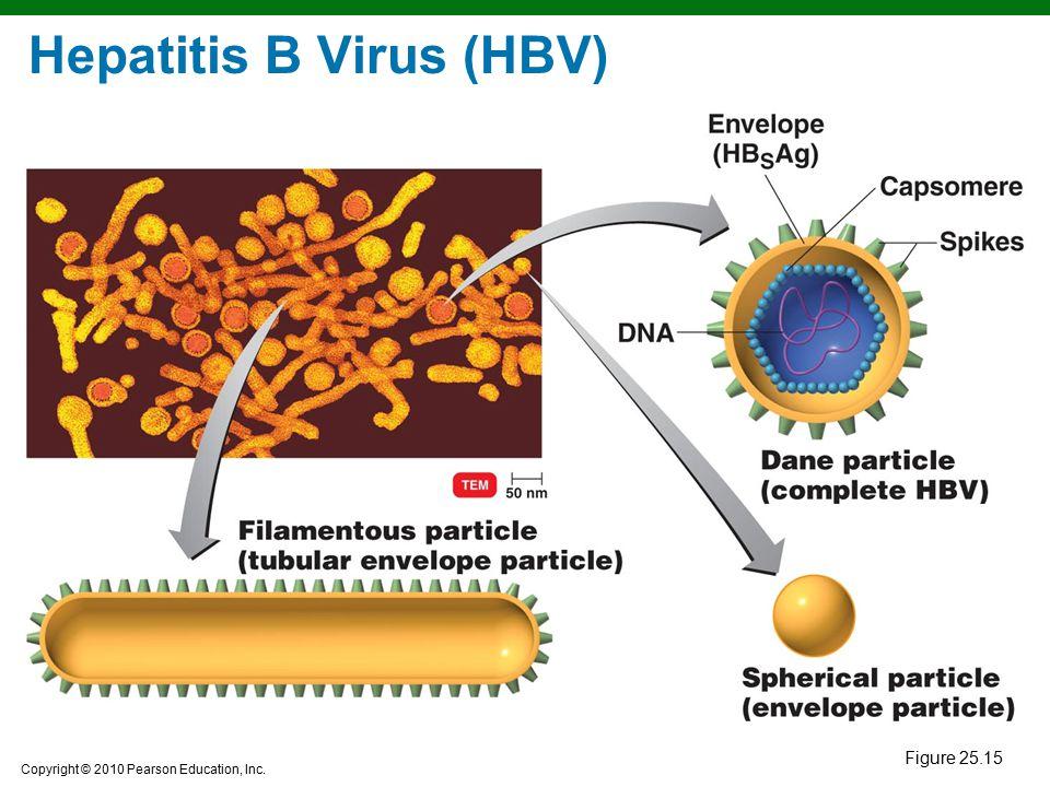 Copyright © 2010 Pearson Education, Inc. Hepatitis B Virus (HBV) Figure 25.15