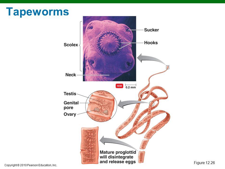Copyright © 2010 Pearson Education, Inc. Tapeworms Figure 12.26