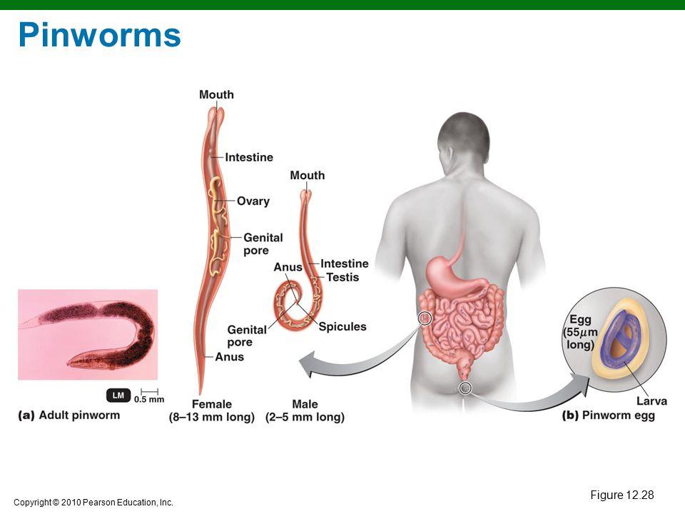 Copyright © 2010 Pearson Education, Inc. Pinworms Figure 12.28
