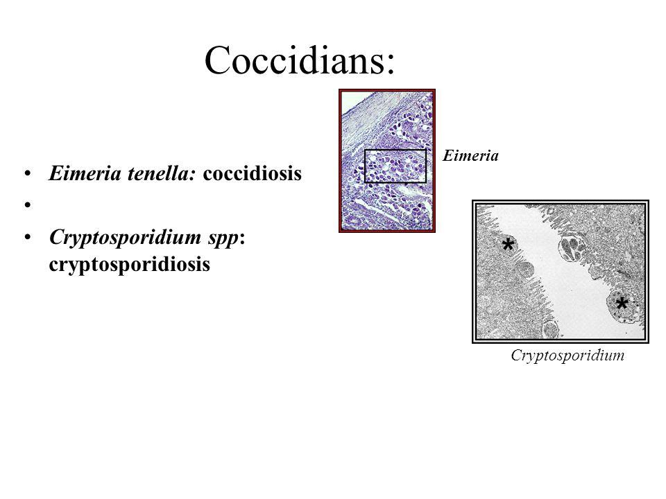 Coccidians: Eimeria tenella: coccidiosis Cryptosporidium spp: cryptosporidiosis Cryptosporidium Eimeria