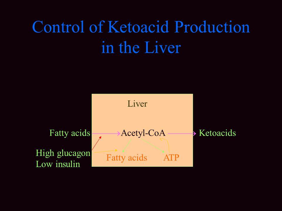 Control of Ketoacid Production in the Liver Fatty acids  Acetyl-CoA  Ketoacids Fatty acids ATP High glucagon Low insulin Liver