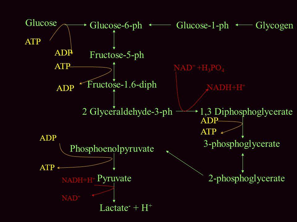 Glucose Glucose-1-phGlucose-6-ph Fructose-5-ph Fructose-1.6-diph 2 Glyceraldehyde-3-ph Glycogen 1,3 Diphosphoglycerate 3-phosphoglycerate 2-phosphogly