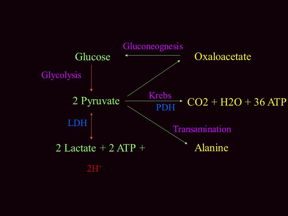 Glucose 2 Pyruvate 2 Lactate + 2 ATP + CO2 + H2O + 36 ATP Alanine Oxaloacetate 2H + Krebs PDH LDH Gluconeognesis Transamination Glycolysis