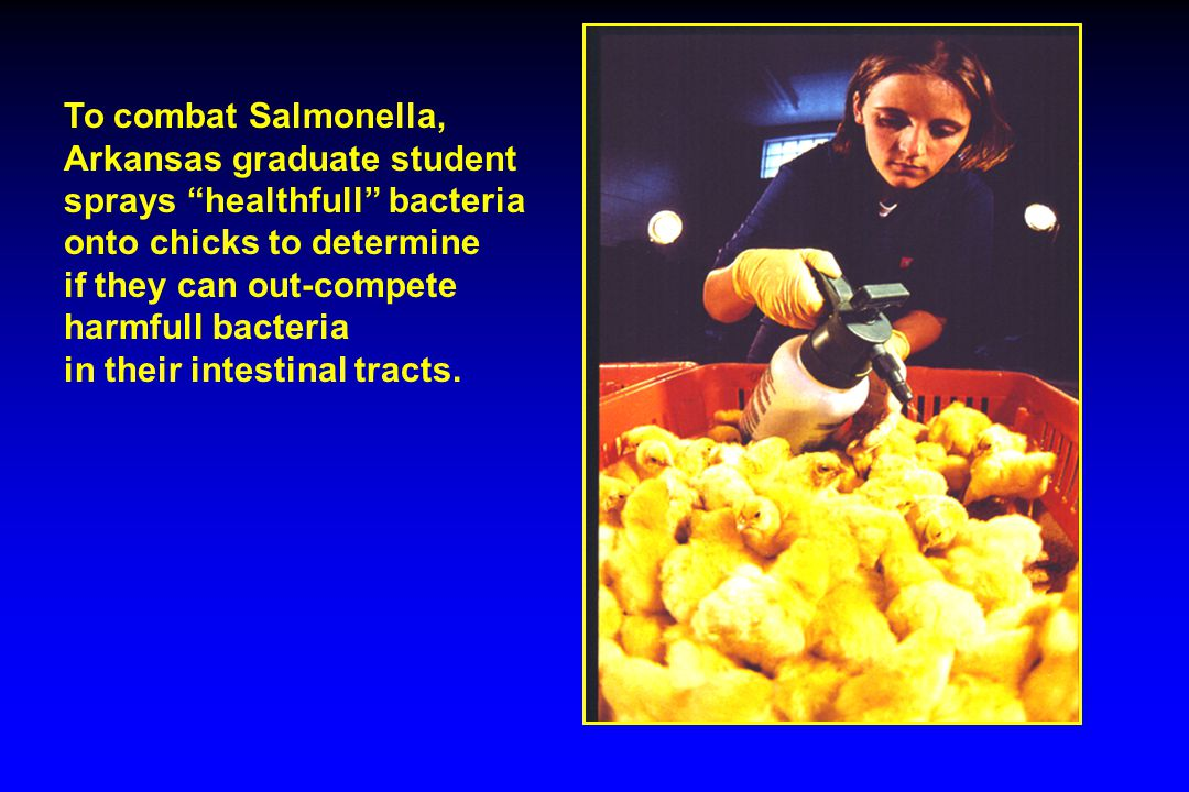 To combat Salmonella, Arkansas graduate student sprays healthfull bacteria onto chicks to determine if they can out-compete harmfull bacteria in their intestinal tracts.