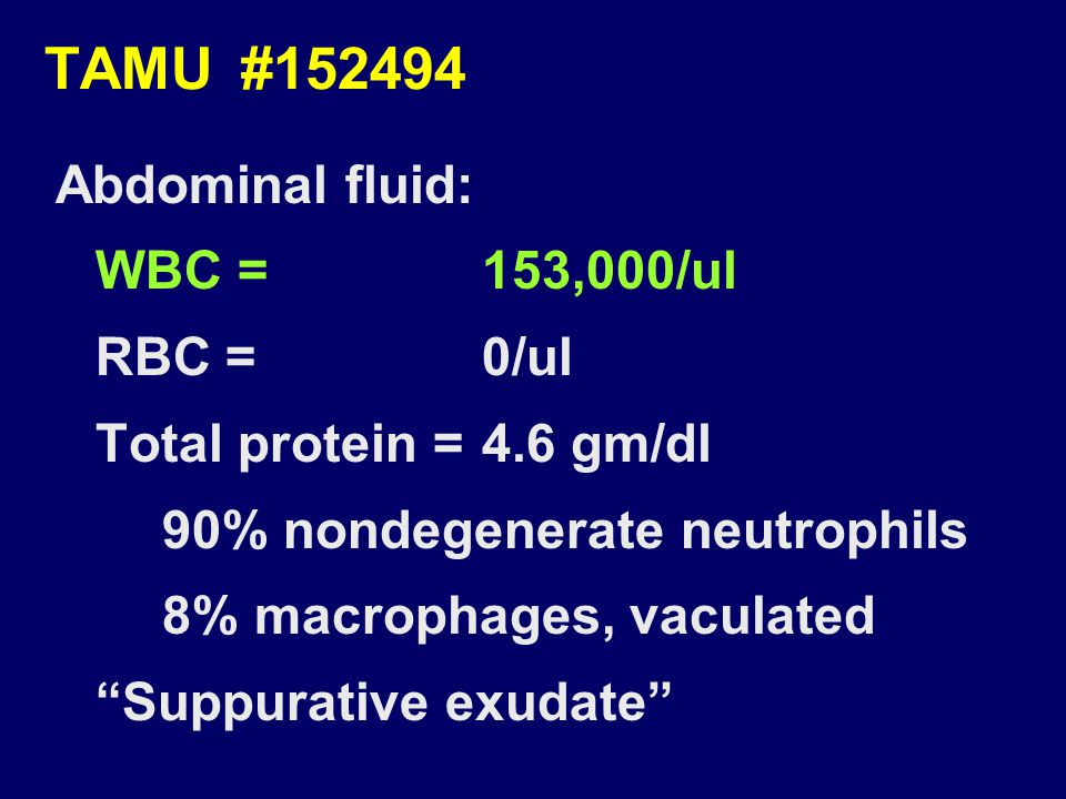 "TAMU #152494 Abdominal fluid: WBC =153,000/ul RBC =0/ul Total protein =4.6 gm/dl 90% nondegenerate neutrophils 8% macrophages, vaculated ""Suppurative"