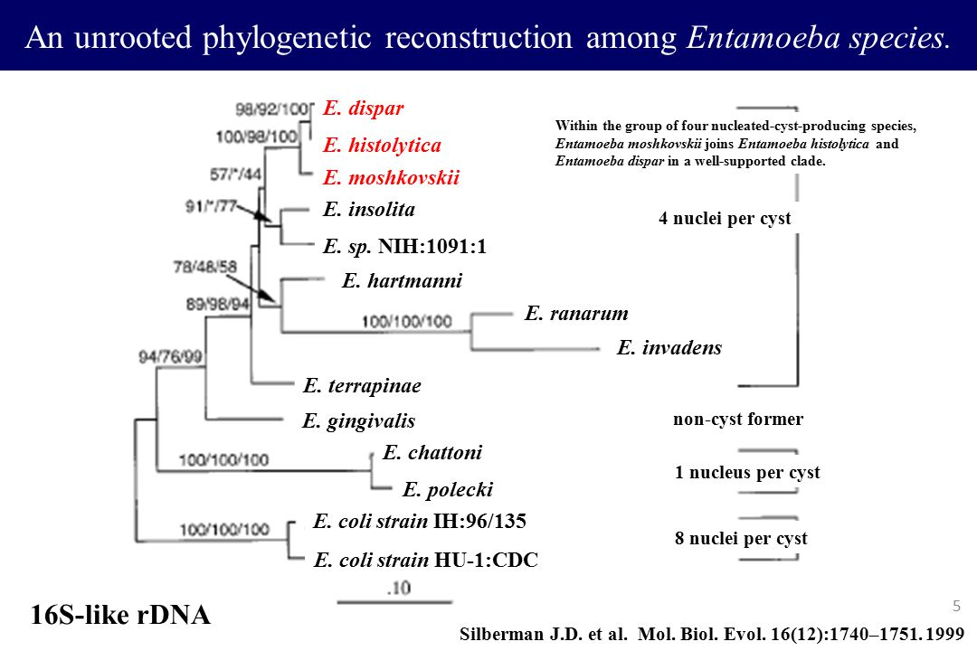 An unrooted phylogenetic reconstruction among Entamoeba species.