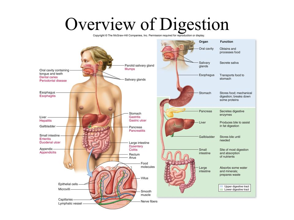 Overview of Digestion